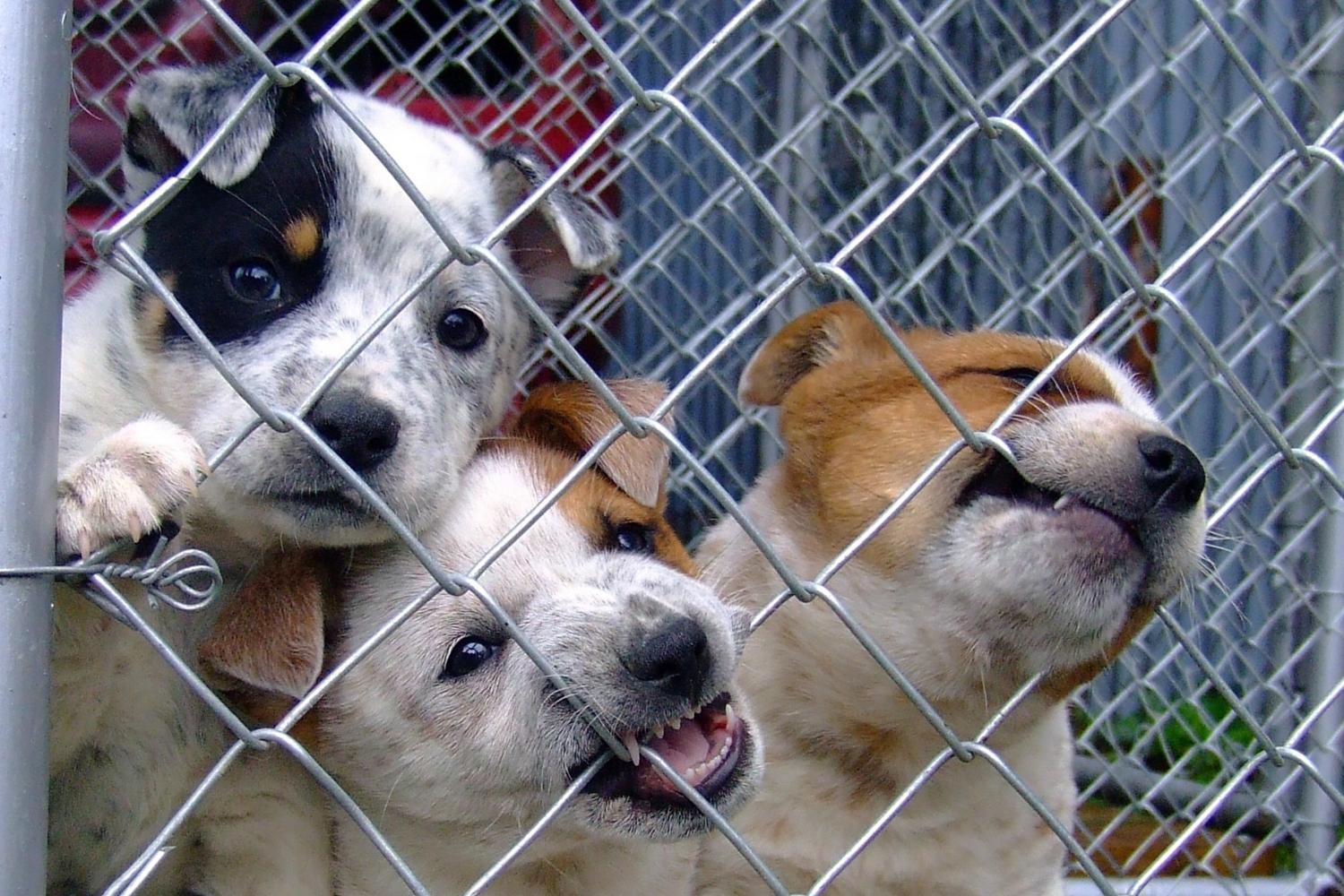 Adopt a pet in Chicago - puppies