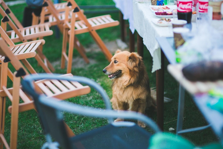 dog eating snacks in boston