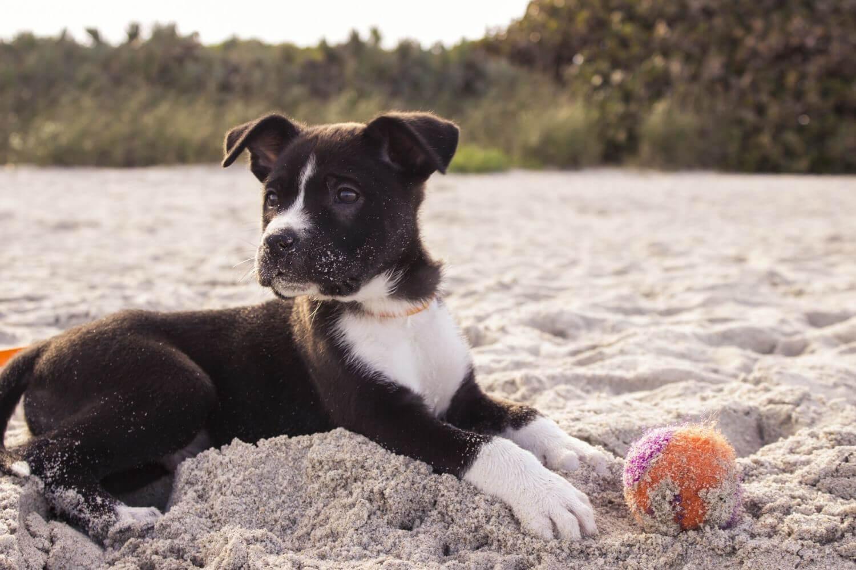 Chicago pet-friendly puppy at beach