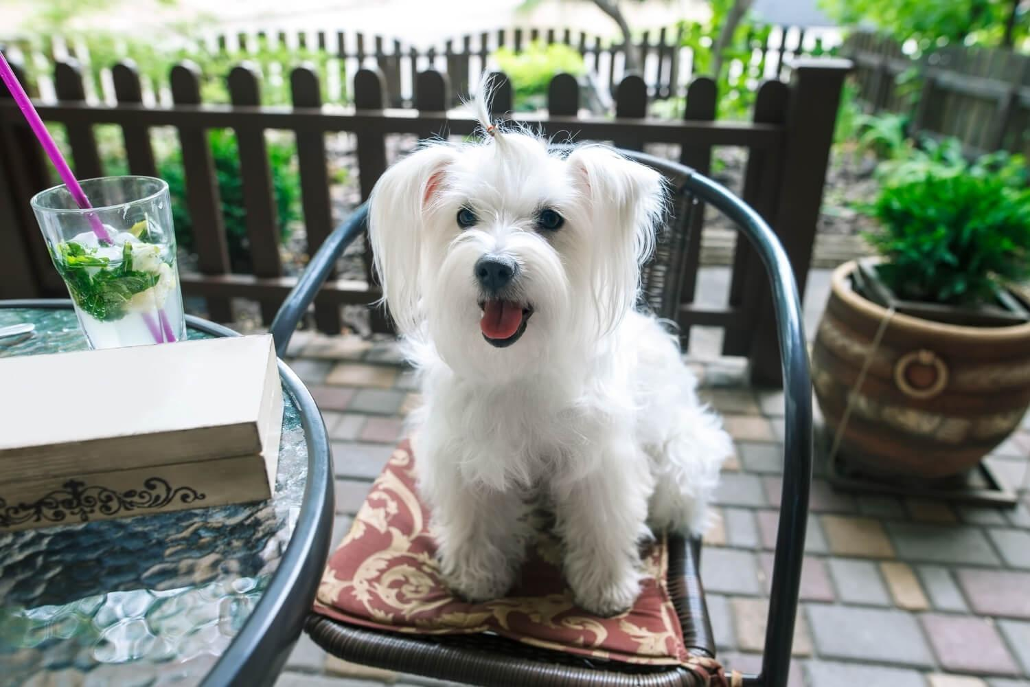 Dog at restaurant in DC sitting on chair