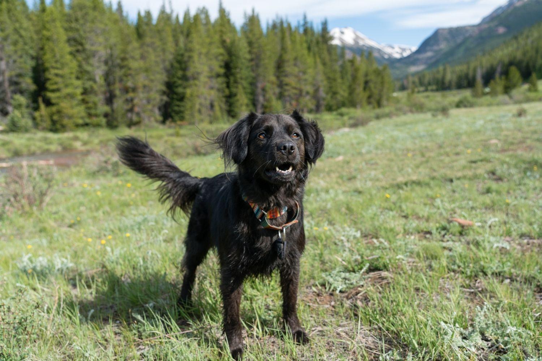 Dog-friendly Hike Denver - dog in meadow