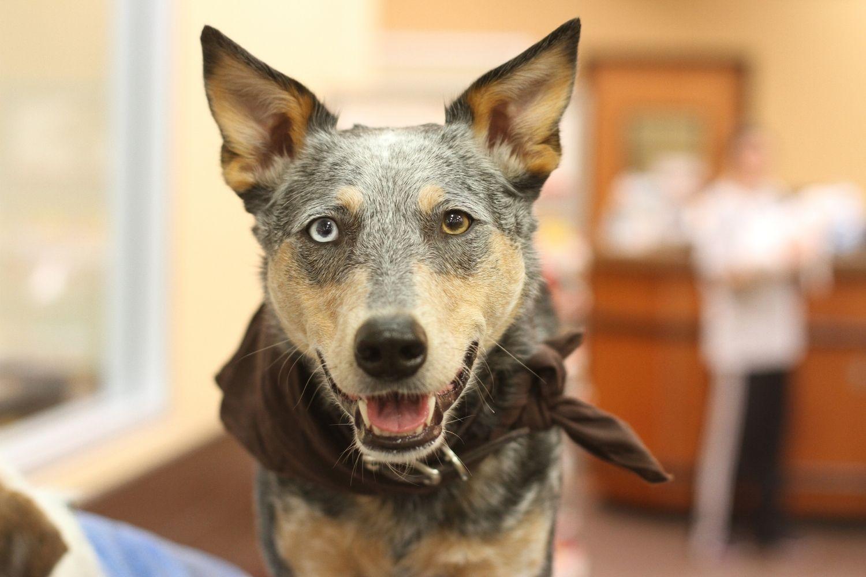 Dog-friendly ATL - Cattle Dog