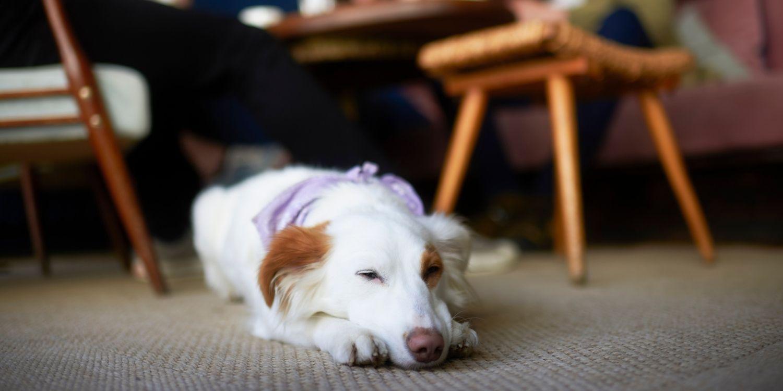 Dog at restaurant in Atlanta sleeping