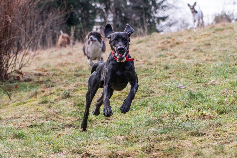 Seattle Dog Parks - dog running through park