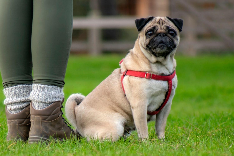 Find a pet care pro - pug