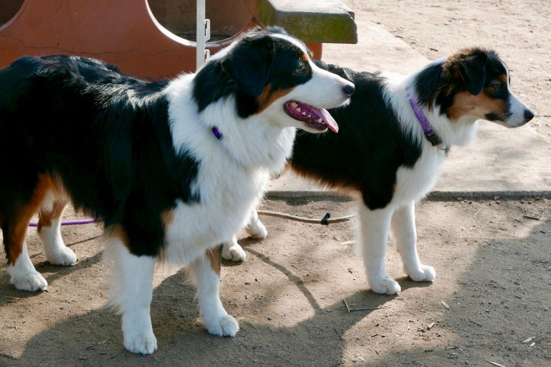 Nashville Dog Park Aussies
