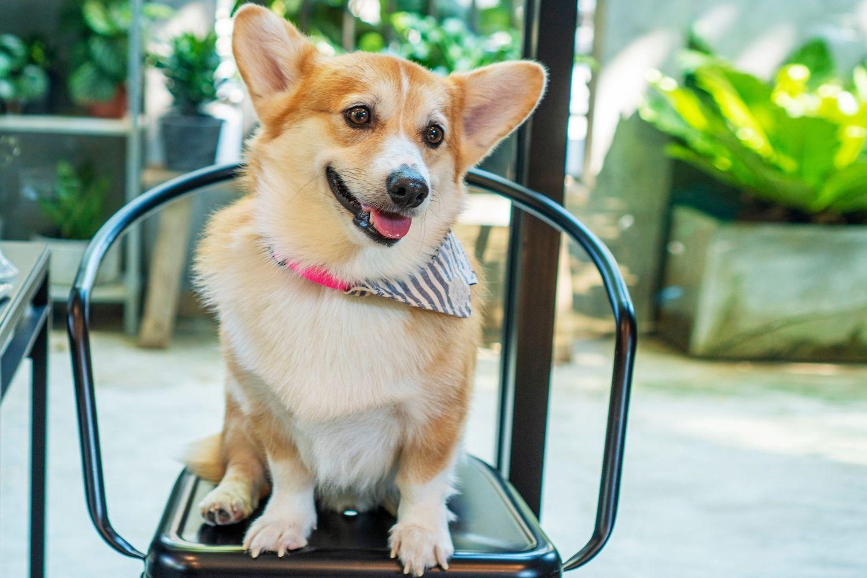 Miami-Dog-friendly-restaurant-corgi