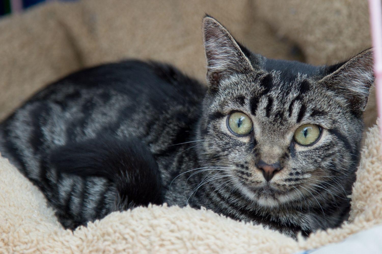 Adopt a pet in Nashville - cat