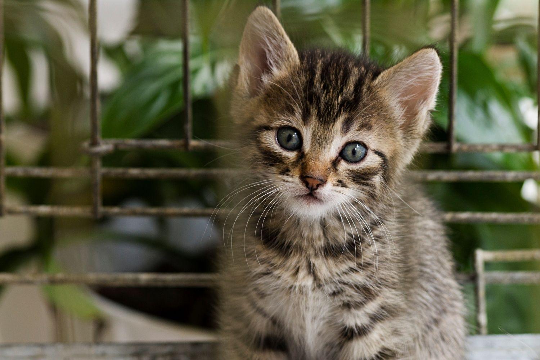 Adopt a pet in Nashville - kitten