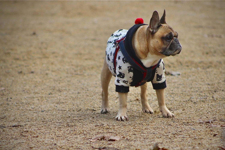 Pug in dog park - Philadelphia