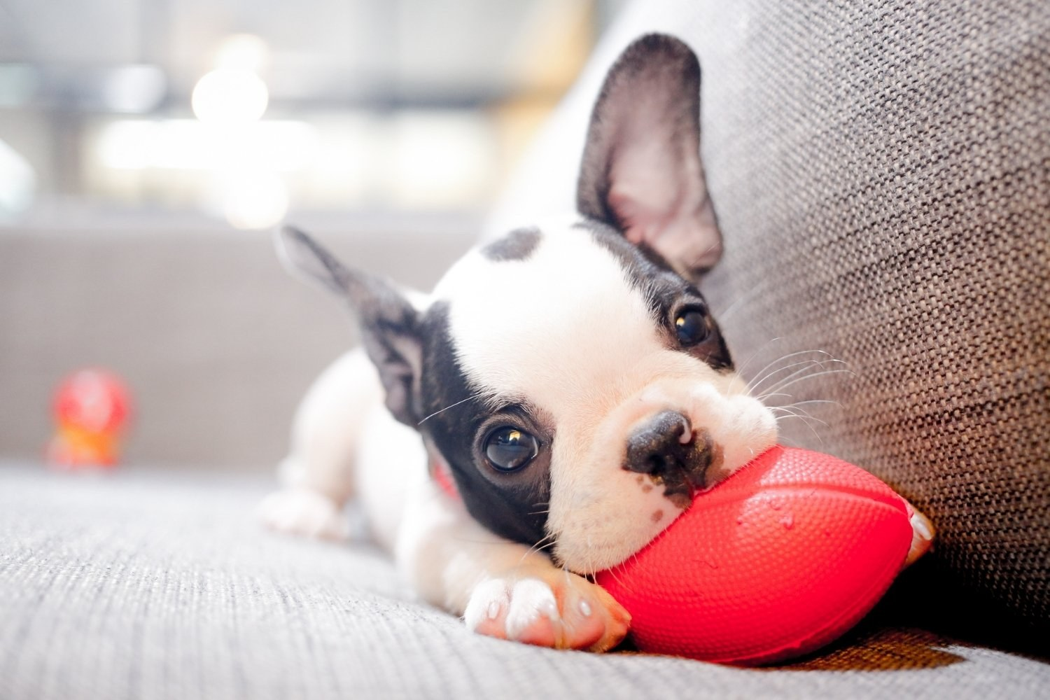 puppy playing with toy